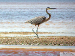 great blue heron - garzon azulado