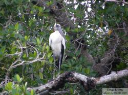 wood stork - cigue�a americana