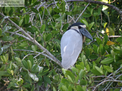 boatbilled heron - garza cucharona