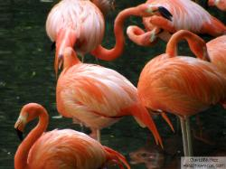 flamingos - flamencos